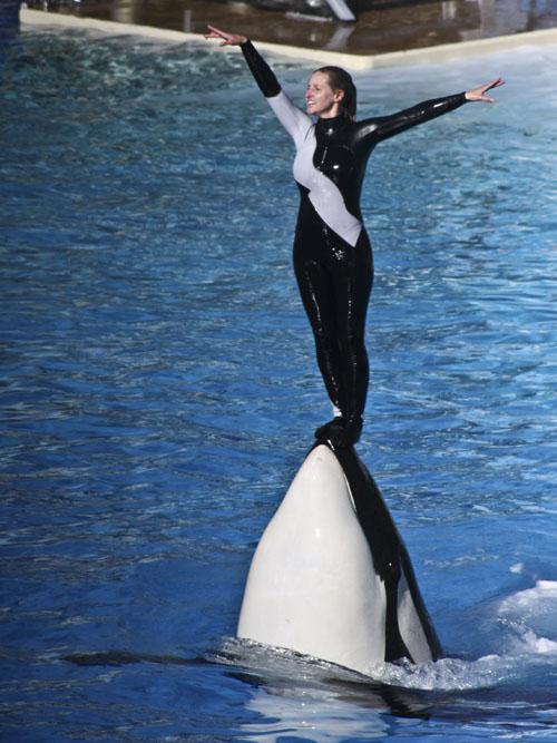 Er tötete drei Menschen Killerwal Tilikum stirbt mit 36